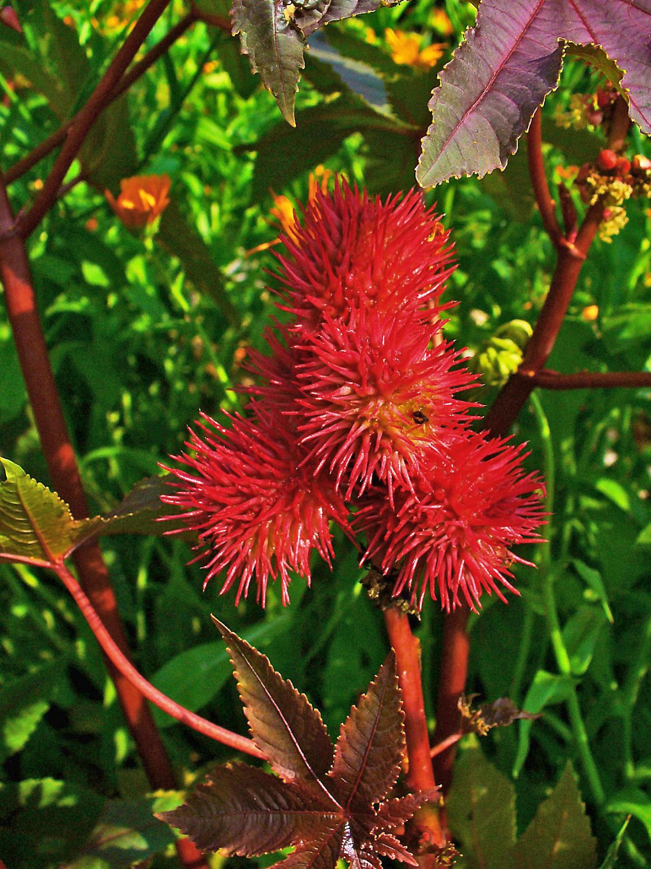 frutti Ricinus Communis