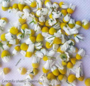 Camomilla per cosmetica - Chamaemelum nobile - cosmetica naturale fai da te