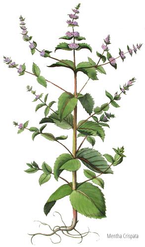 piante officinali - Mentha spicata varietà crispata
