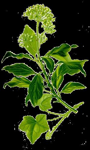 Edera comune (Hedera Helix) - Flower Tales cosmetica naturale fai da te