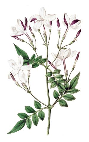 gelsomino officinale - Flower Tales - fragranze aromaterapia - cosmetica naturale fai da te