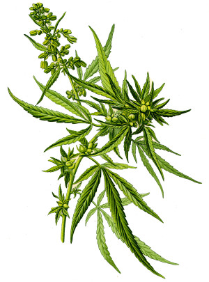 Olio di semi di canapa - Flower Tales cosmetica naturale fai da te