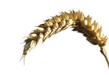 Olio di germe di grano - Flower Tales cosmetica naturale fai da te