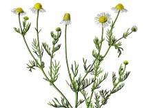 Camomilla - Flower Tales cosmetica naturale fai da te