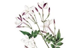 Gelsomino - Flower Tales cosmetica naturale fai da te