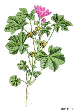 estratti vegetali malva botanica - solventi - alcool - glicole - glicerina - glicerici - alcolici - glicolici Flower Tales cosmetica naturale fai da te